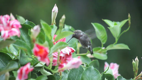 ruby throated hummingbird in red and white flowers Stock Video Footage