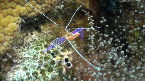 Caribbean anemone , shrimp with eggs Stock Video Footage