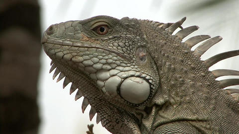 Iguana close up face Live Action