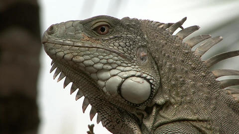 Iguana close up face Stock Video Footage