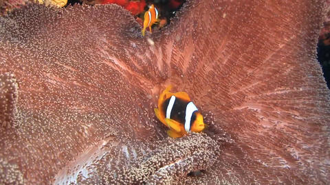 Nemo fishes and coral , Sudan Stock Video Footage