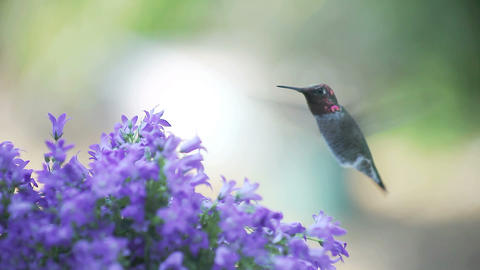 hummingbird with bellflowers Stock Video Footage