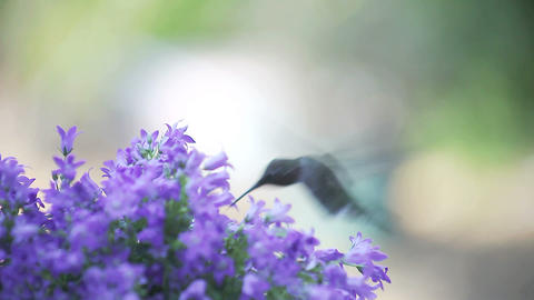 hummingbird with bellflowers Footage