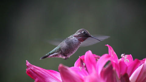 hummingbird in deep pink lilies Stock Video Footage