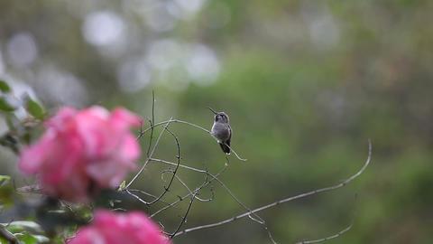 baby hummingbird falls off perch Stock Video Footage