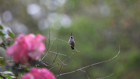 Baby Hummingbird Falls Off Perch stock footage