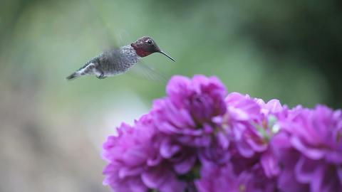 hummingbird in purple flowers Footage