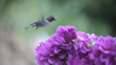 hummingbird in purple flowers Stock Video Footage