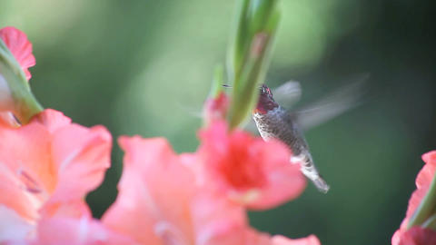gladiolas with hummingbird Stock Video Footage