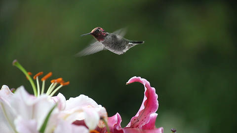 hummingbird with pink and maroon lilies Footage