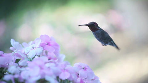 pale pink impatiens with hummingbird Footage