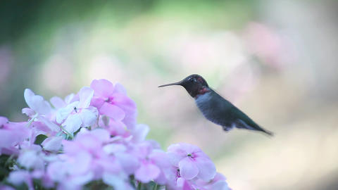 pale pink impatiens with hummingbird Stock Video Footage