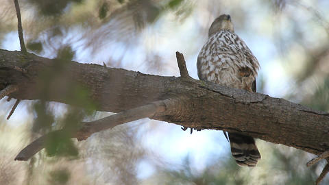 hawk after a meal Stock Video Footage