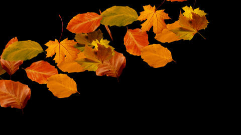 Autumn Leaves Falling From Left To Right Alpha stock footage