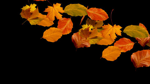 autumn leaves falling from right to left alpha Footage
