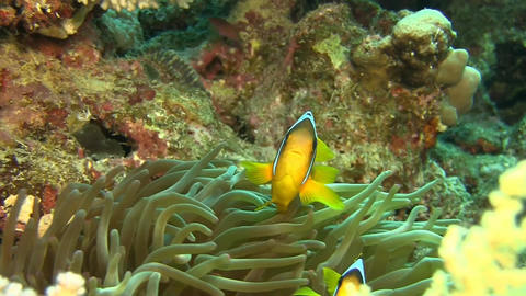 2 banded Clownfishes, nemos Stock Video Footage
