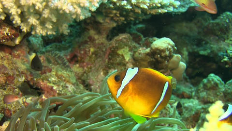 2 banded Clownfishes, nemos Footage
