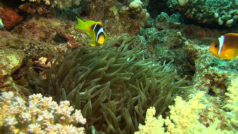 2 banded Clownfish, nemo Stock Video Footage