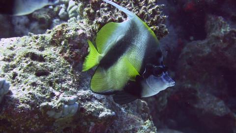 Bannerfish Stock Video Footage