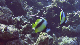 Bannerfish in love Stock Video Footage