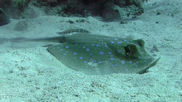 Blue spotted stingray Stock Video Footage