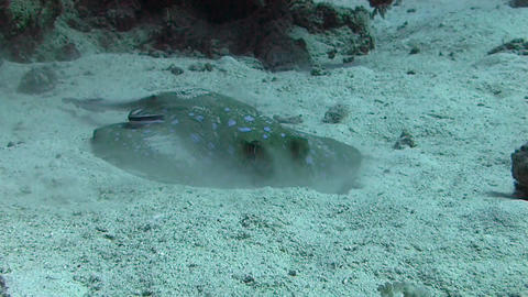 Blue spotted stingray , Egypt Red Sea Stock Video Footage