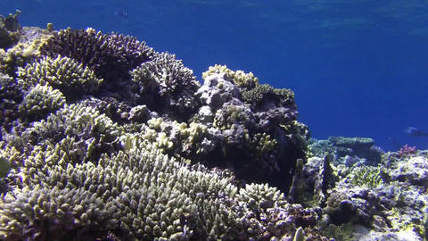 Coral Stock Video Footage