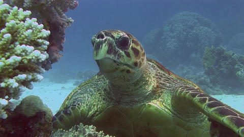 Turtle eating coral Stock Video Footage