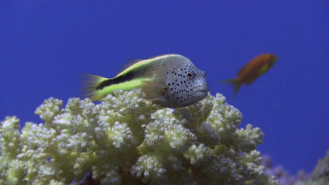 Freckled Hawkfish Stock Video Footage