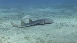Guitar Shark swimming on the bottom Stock Video Footage
