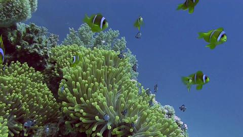 Juvenile Clowfish, Nemo Stock Video Footage