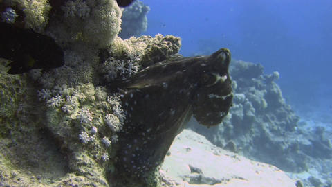 Octopus on coral Footage