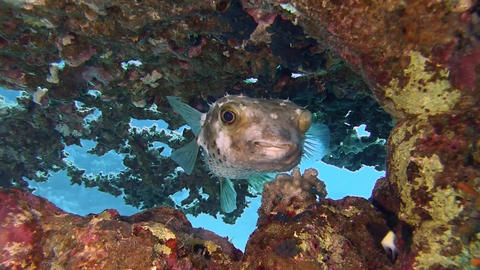 Pufferfish Stock Video Footage