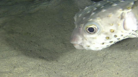 Pufferfish at Night Footage