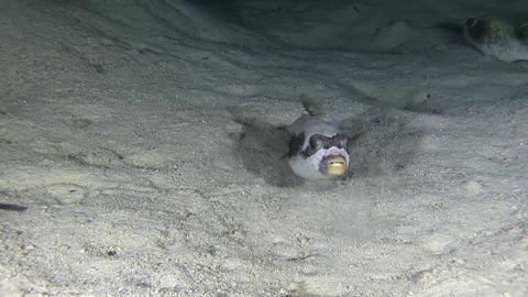Pufferfish at Night Stock Video Footage
