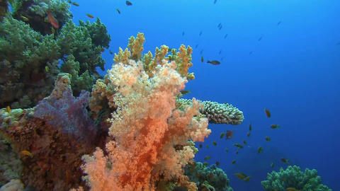 Soft Coral stock footage
