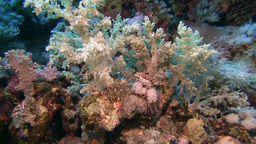 Soft coral Stock Video Footage