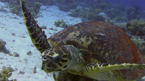 Turtle swimming in sea Footage