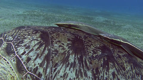 Turtle shield close-up Stock Video Footage