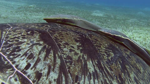 Turtle Shield Close-up stock footage