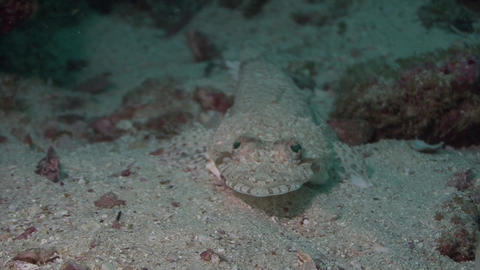 Juvenile Crocodile fish Arabian Sea Oman Live Action
