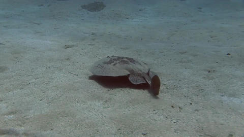 Marbled electric Ray (1 from 2) Footage