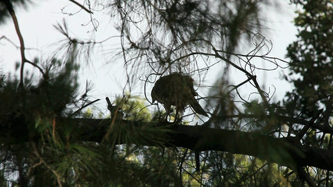 hawk eats prey in tree Footage