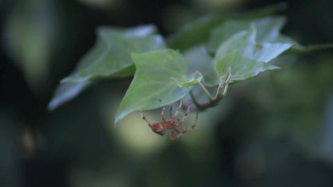 Garden Spider On Ivy stock footage
