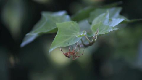 garden spider on ivy Footage