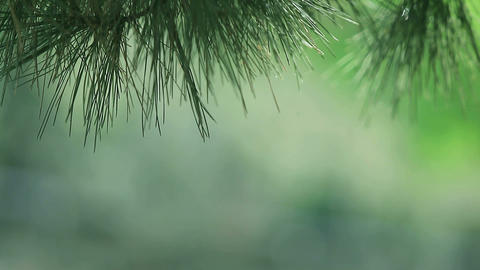 pine needles with copy space Footage
