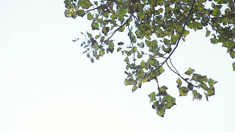 quaking aspen leaves with copy space Footage
