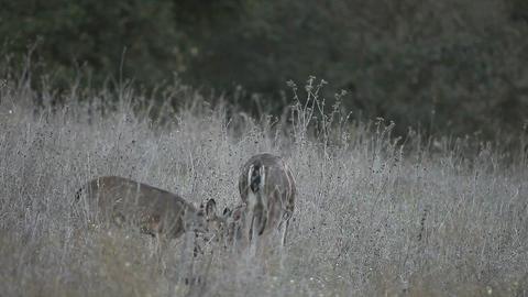 deer family feeding Footage