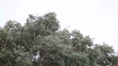 Eucalyptus Tree In A Storm stock footage