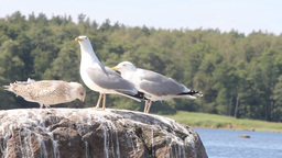 family of seagulls, feeding of a chick , sea birds Footage